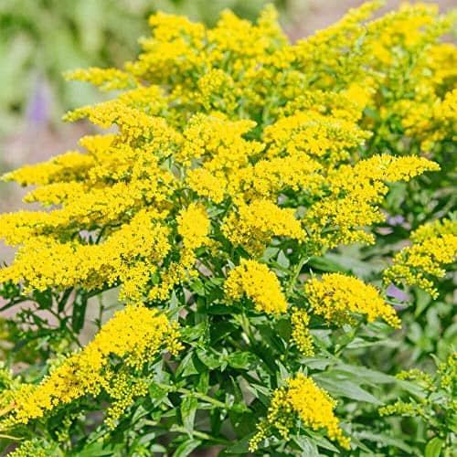 le solidago, une plante à effet diurétique