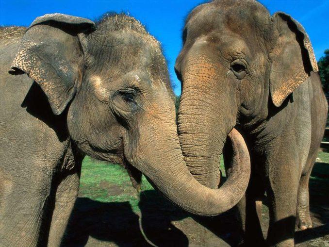 Les éléphants